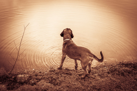 Bloodhound has a view on a lake during hunting Stock fotó