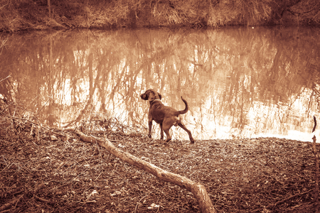 sweat hound stand at a lake and shows prey