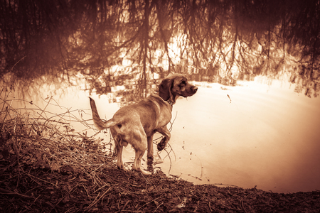 Bloodhound stands beside a lake in a hunt