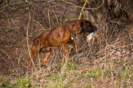 dog searching for a animal during hunting Stock fotó
