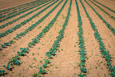 rows of young cabbage on the field