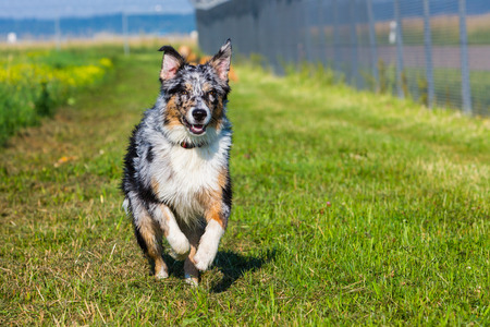 young australian shepherd dog running with speed