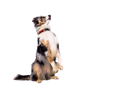 cute pet dog stands and waits for reward before white background Stock fotó
