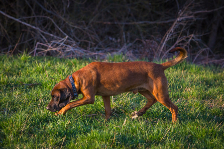 bloodhound at the evening on a hunt getting a smell