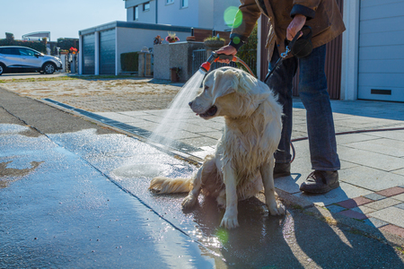 dirty golden retriever gets a shower after walk Standard-Bild - 116771261