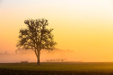 apple tree on a foggy morning at sunrise Stock fotó