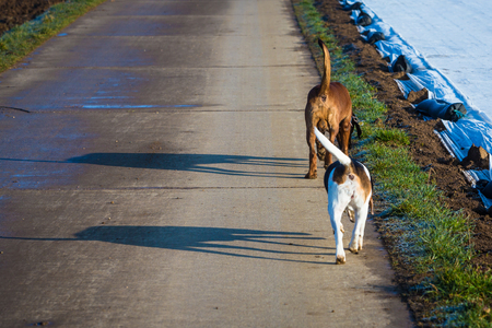 dogs sniffing on the ground during a walk Stock Photo