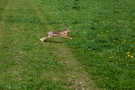 wild rabbit runs on green gras in the spring Standard-Bild - 116772680