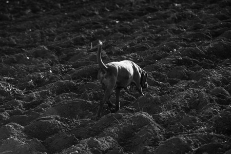 tracking dog on the field follows a track Standard-Bild - 116772689
