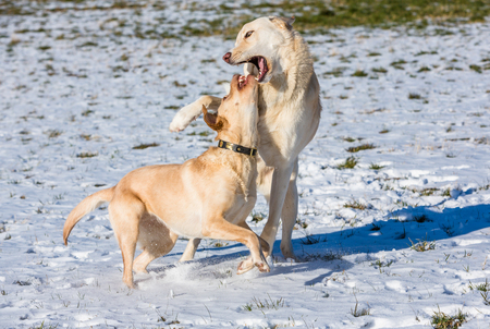 two dogs playing in the snow and haveing fund Standard-Bild - 116772691