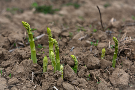 young asparagus shoots on the field during harvest