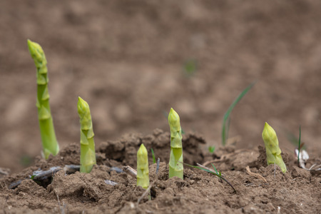 young green asparagus buds on the field
