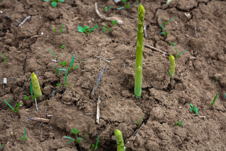 young shoots of asparagus grow on the field