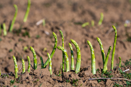 asparagus harvest of green asparagus on the field Banco de Imagens
