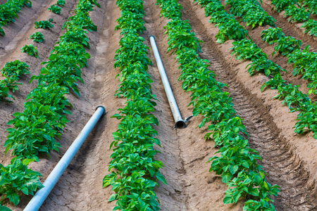 young potato field with watering pipes outdoors