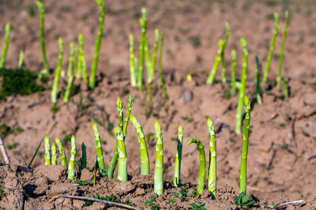 green asparagus sprouts on the field