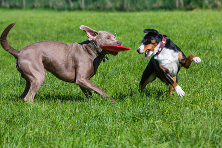 two pet dogs play together with a frisbee on a green meadow