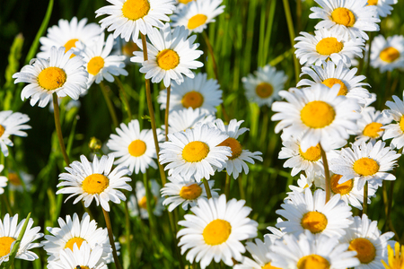 many daisy flowers outdoors in detail