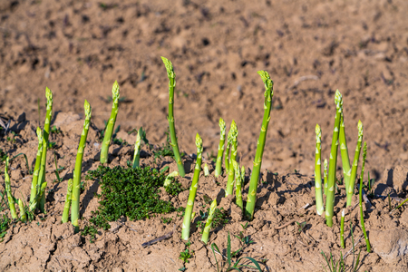 green asparagus at harvest time on the field