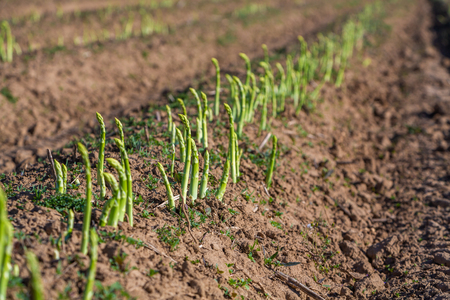 green asparagus grows on the field in a row