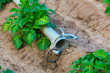 detail of a young green potato plant and watering pipe outdoors Stock fotó
