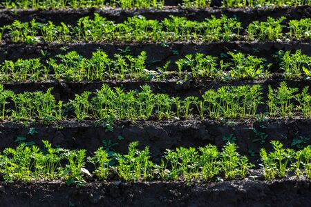 young carrot plants in rows glowing in the sun