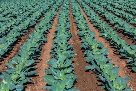 cabbage growing in rows on the field