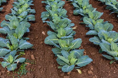 young cabbage plants growing on the field Banco de Imagens