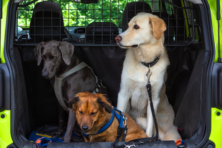 three dogs sitting in a trunk of a car Editorial