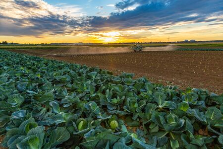 cabbage field gets artificial watering at sunset 스톡 콘텐츠