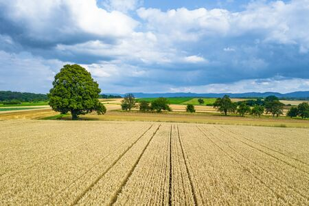 grain field with big lime tree in late summer Stok Fotoğraf