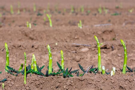 young fresh shoots of asparagus breaking through the soil on a field