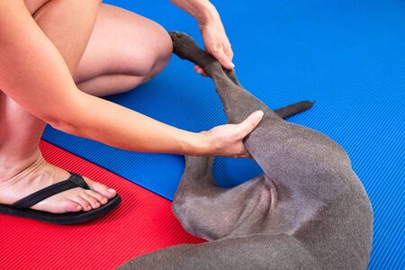 stretching a leg of a dog in physical therapy Standard-Bild