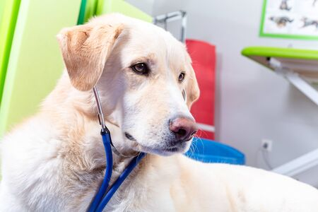 portrait of a tall white maremano mix dog with stethoscope looks like a doctor