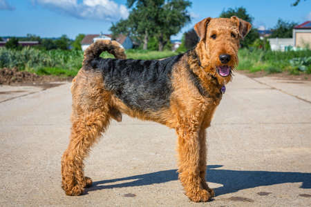 beautiful airedale terrier in close up