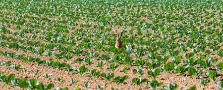 rabbit sits in a field of young cabbage plants Stockfoto