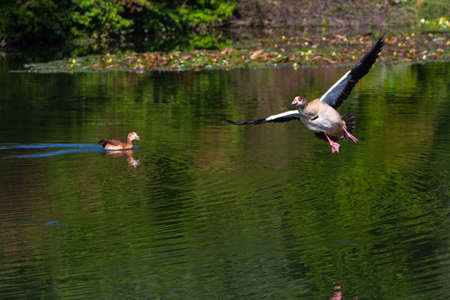 egyptian goose landing on the water of a lake in detail