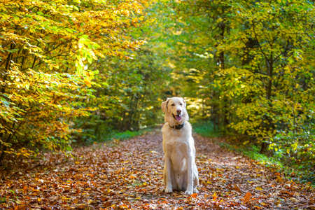 white dog sitting in the autumn forest on a path Stock Photo