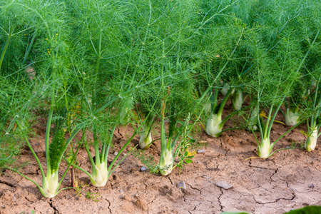 young fennel plants grow in the garden Stok Fotoğraf