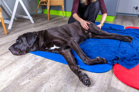 big black dog lying on the floor and gets a massage on its thight Stock Photo