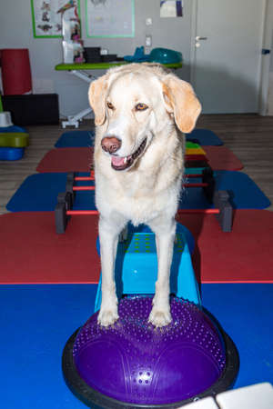 tall white dog stands on a parkour in physical treatment