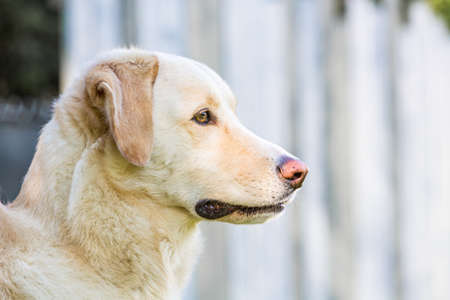 portrait of a tall white maremmano mongrel outdoors
