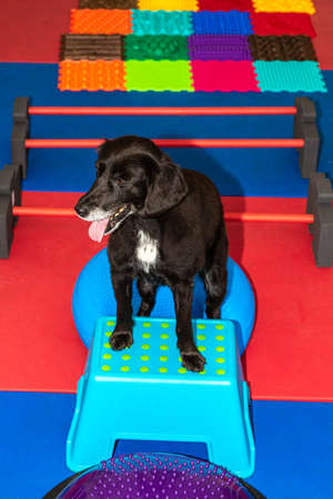 little black dog stands on a parkour in physical treatment