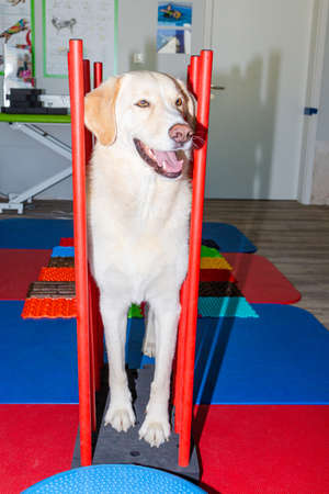 tall white dog on a parkour in physical treatment Stock Photo