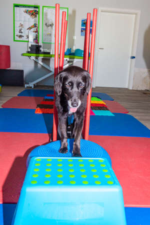 little black dog on a parkour in physical treatment Stock Photo
