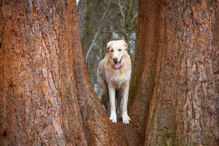 white maremmano dog posing between redwoodtree stems Stock fotó