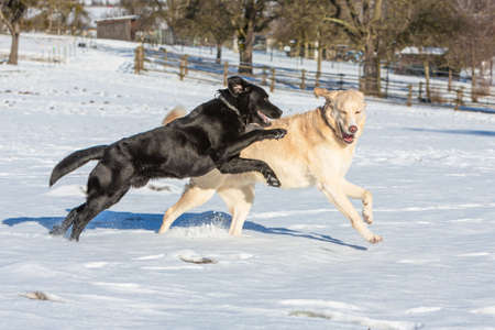 two dogs playing in the snow and haveing fun together Stock fotó