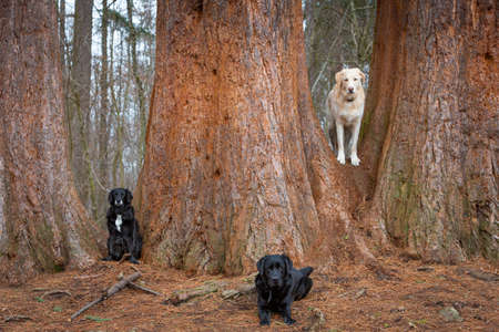 three pet dogs in front of redwood tree stems posing
