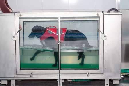 dog walks in an underwater treadmill during its treatment in physiotherapy
