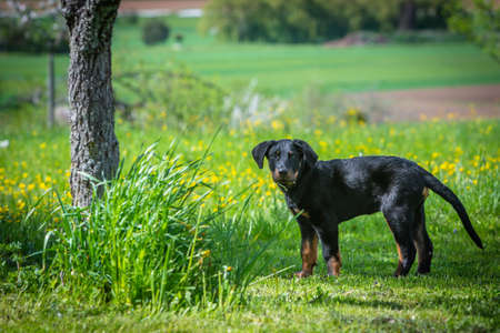 young beauceron puppy standing on a meadow on a sunny day